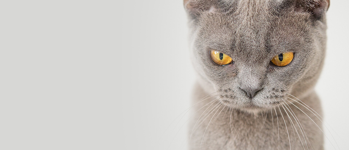 No, this cat is not angry. The angle and his focus makes you think so.